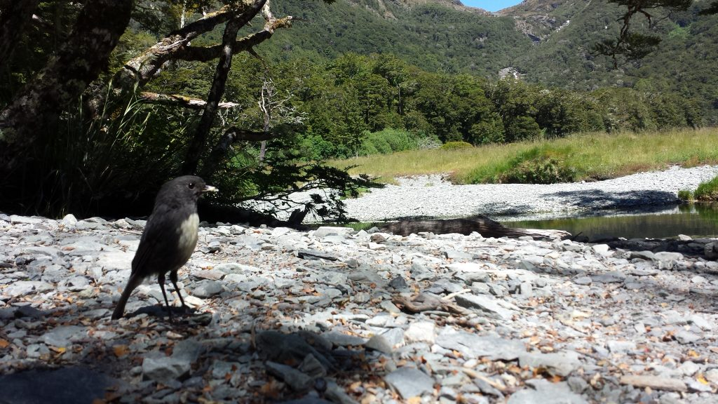 A curious Robin on the Routeburn Track