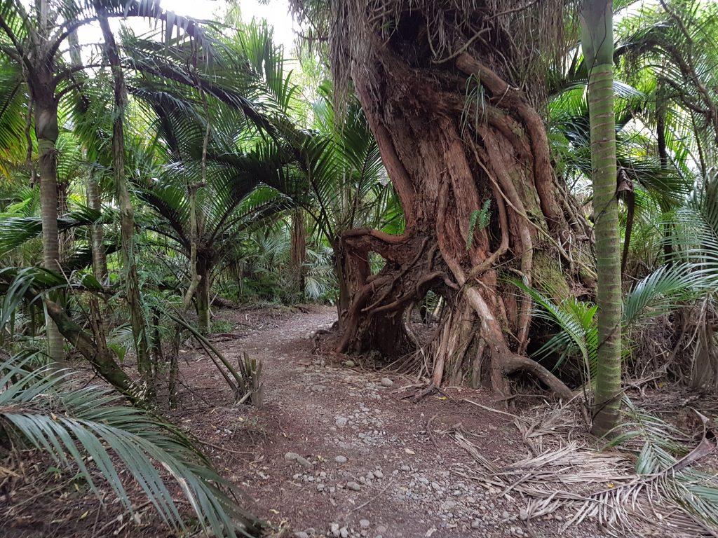 Heaphy Track Tree