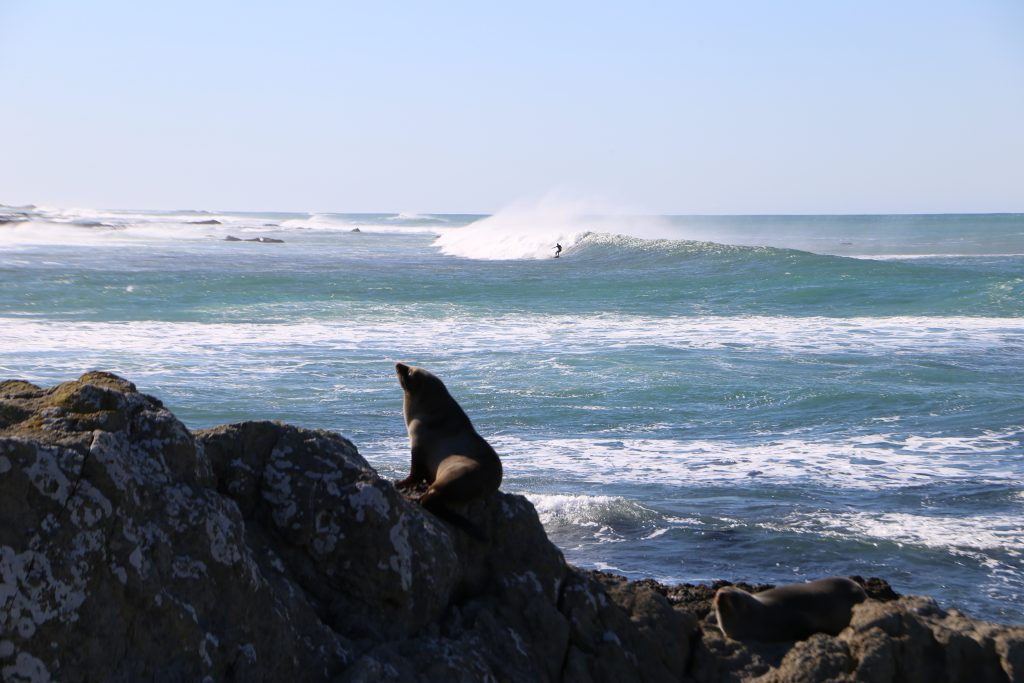 Te Awaiti Beach Surfer and Seal